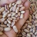 فروش انواع لوبیا چیتی بازرگانی امین آغاز شد